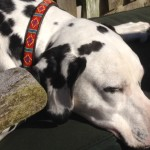 This is Keeper, a very relaxed Dalmatian wearing a beautiful Mombasa Red Skinny Collar - many thanks to Mette from Denmark for sending this in.