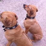 Mother and daughter duo, Jermani and Akia, Rhodesian Ridgebacks looking very regal in their new Bajuni Dog Collars available from Malulu Ltd - many thanks again to Mette from Denmark!