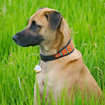 Meet Chalo, the rescue dog from Malawi, looking fantastic in his Mombasa Red Lurcher style collar - many thanks to Jamie in Iowa, USA